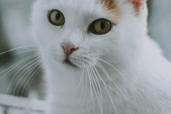cute white kitty looking for a cat tree for cat trees in London Ontario