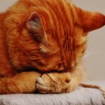 A stress out cat to denote the important of reducing our cat's stress during covid-19