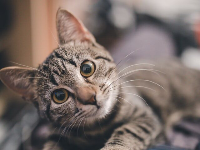 A cute picture of a tabby to denote a cat needing to look for Kitchener cat trees.