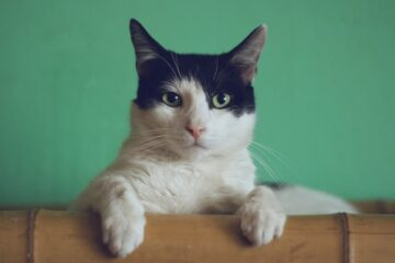 A picture of a cat to denote a cat looking for cat trees in Scarborough Ontario.