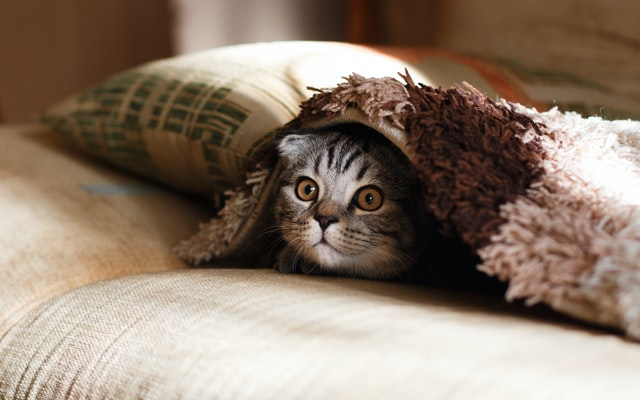 A picture of a cat under a blanket to denote a cat wishing there were cat trees in Gatineau Quebec.