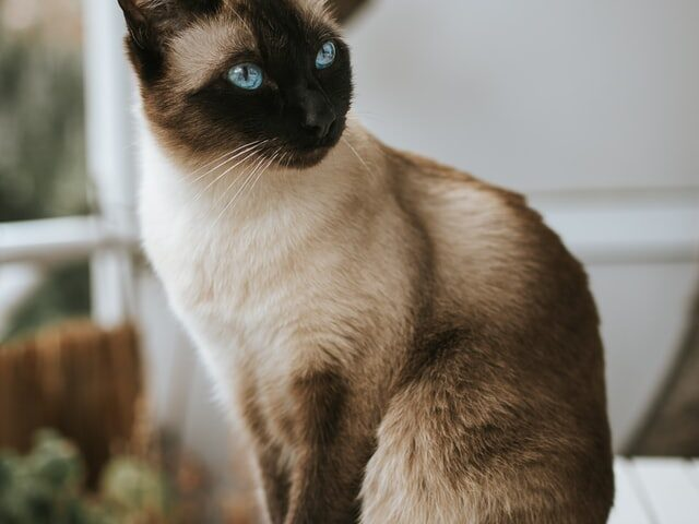 A picture of a cat to denote a cat hoping that their owner will buy cat trees from Petsmart.