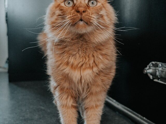 A picture of an orange tabby to denote a cat wishing for cat trees in New York.