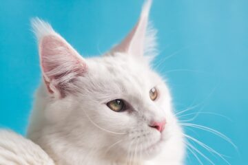 A cat with large whiskers to highlight the question why do cats have whiskers.