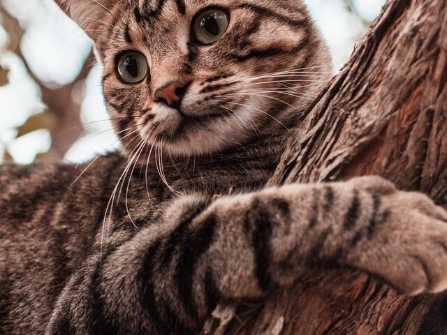 A picture of a Tabby cat to highlight the question what is a Mackerel Tabby?