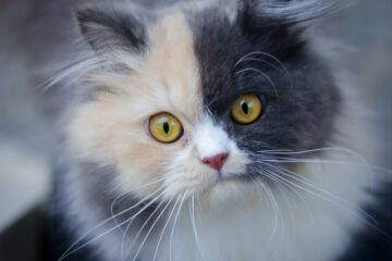 A pretty cat to denote a cat wondering if can cats eat cilantro?
