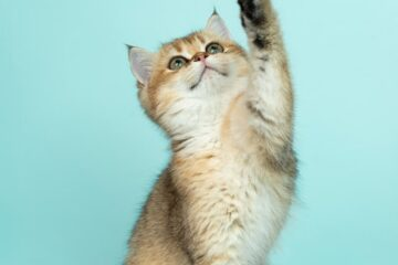 A picture of a cat reaching up to denote a cat reaching for cat trees in Oshawa Ontario. o.